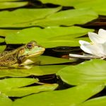 Pond, frog and lily